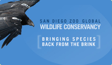 San Diego Zoo Global Wildlife Conservancy. Bringing Species Back from the Brink.
